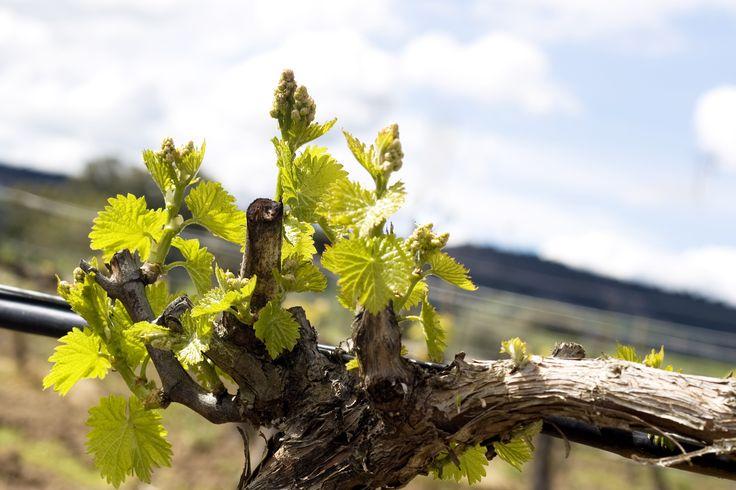 Enoturismo en Ribera del Duero: experiencia entre viñedos.  www.restauranteespadana.es