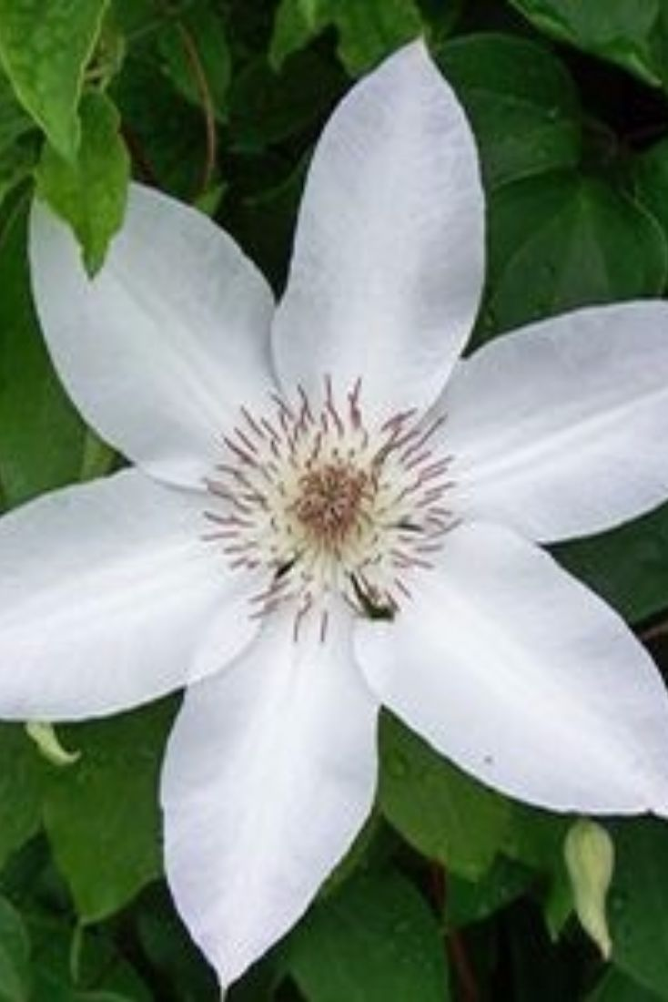 17 best images about clematis on pinterest white