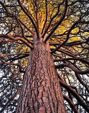 Een boom zwaait met zijn takken, zijn bast opzwellend terwijl hij zich schrap zet voor de zonnestorm die door zijn takken naar beneden raast!