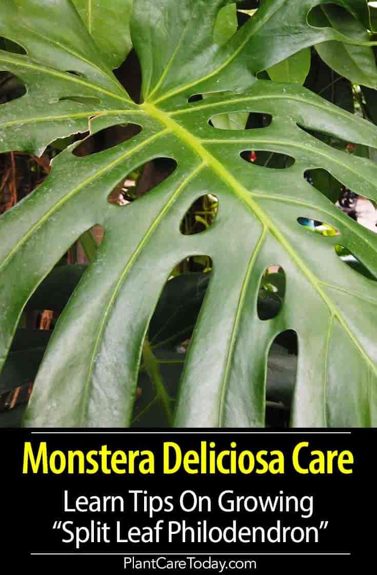 Monstera deliciosa care how to grow the swiss cheese