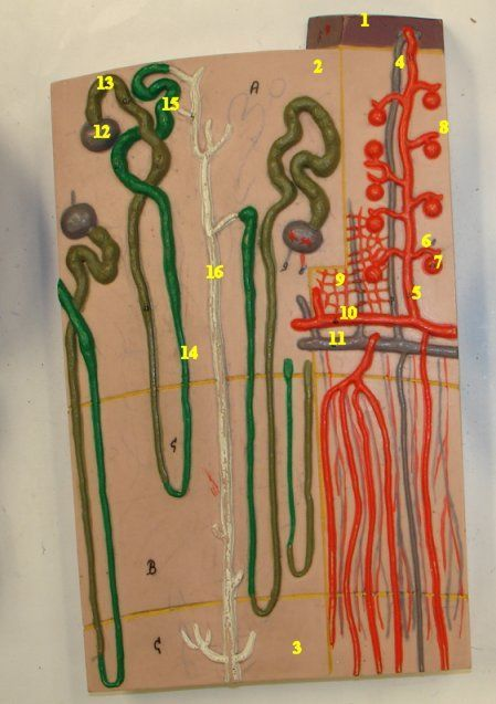 Nephrons and Blood Vessels, 120 times full-size, 3B. || 1. Fibrous capsule || 2. Renal cortex || 3. Renal medulla || 4. Cortical radiate vein || 5. Cortical radiate artery || 6. Afferent arteriole || 7. Glomerulus || 8. Efferent arteriole || 9. Peritubular capillaries || 10. Arcuate artery || 11. Arcuate vein || 12. Glomerular capsule || 13. Proximal convoluted tubule || 14. Loop of Henle || 15. Distal convoluted tubule || 16. Collecting duct