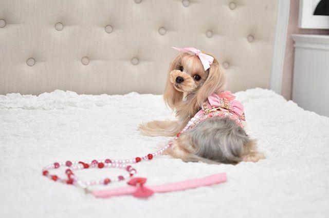 Jewel リード🎀  可愛すぎます。  沢山種類があって、 選ぶのに困っちゃいますね💦 牽引体重は11kgです。  本物のスワロフスキーでつくられており、1本ずつ手作りです*.💓💓 モデル  @ppurinpurin21  ぶりん ちゃん💓💓 #alettaangelique #dogs#petstagram#cute #dogstagram #kawaii #mydogiscutest #love #doglover  #doglovers #愛犬家 #愛犬 #ファッション#dog #alettaangelique #ペットモデル#モデル募集 #maltese #募集#ヨークシャテリア#ヨーキー  #わんすたぐらむ  #わんこ #わんこなしでは生きていけません会 💎aletta angelique💎  注文は24時間承っております💕