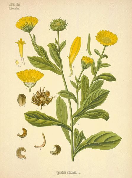 calendula cream or gel is a great topical homeopathic remedy for skin irritations, minor scrapes and burns and helping heal up injured skin