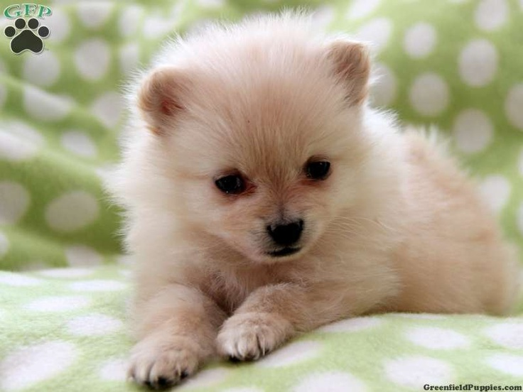 pomeranian breeders in pa 1000 images about pomeranians for sale on pinterest 9560