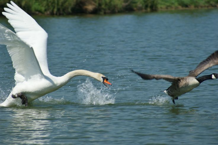 Canadian goose being chased off by a swan @ Calcutt Marina www.calcuttboats.com