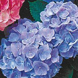 Nikko Blue Hydrangea - Shrubs - Shrubs, Hedges and Grasses - Gurney's Seed & Nursery