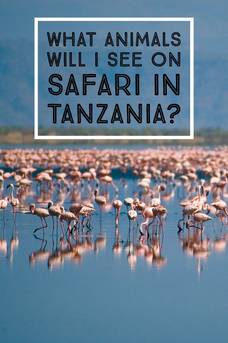 Tanzania is ground zero for world-class wildlife viewing. There are endless opportunities for animal observation in the country's national parks, reserves, and forests. With each stop you'll come across more wildness than you ever thought possible. So polish off your binoculars and get your checklist ready, because safari? Safari is where you go to see the world dance. #Tanzania #Africa #Travel #MyEasyTravel #Safari #Animals #Wildlife