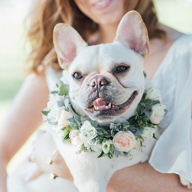 French Bulldog Floral Collar French Bulldog Puppies Bulldog