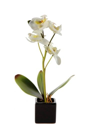 Mini Orchid Potted
