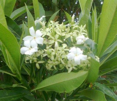 Gambar Bunga Kamboja Putih di Antara Dedaunan