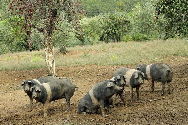 Bijzondere Sienese varkentjes met een riem