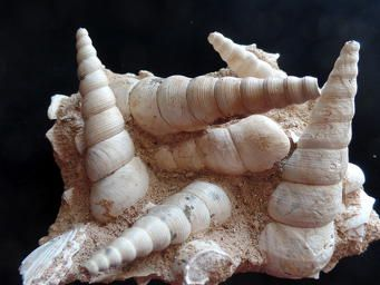 Turritella (fossil gastropod) from Touraine France $75.00 . Visit the website at http://www.nomadicspiritjewelry.com/ to view our selection of #gemstones #minerals #crystals #jewelry #fossils #beads #Turritella
