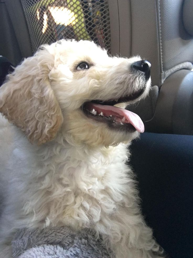 New Standard Goldendoodle member of the family 2
