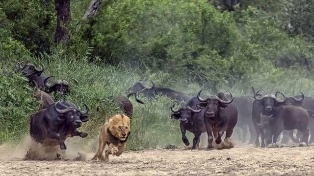 Leão foge de bufalos - http://extra.globo.com/noticias/animais/bufalos-reagem-ataque-fazem-leao-sair-correndo-8313955.html - GFCAF_BCL130507_01d.jpg (640×360)