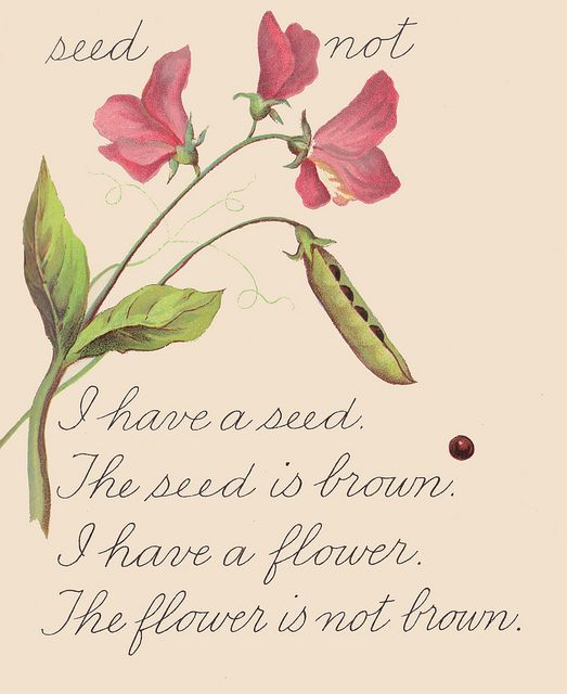 """Sweet Pea flower and seed ~ from """"The Beginner's Reader,"""" copyright 1898."""