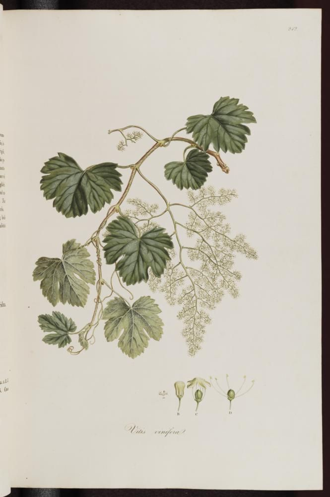 Vitis vinifera (Cognac, Grape vine), Sibthrop, J., Smith, J.E., Flora Graeca, vol. 3: p. 36, t. 242 (1819)