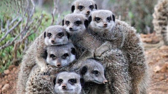 Get up early and do a meerkat tours in #Oudtshoorn, #Klein #karoo, #South #Africa. Buffelsdrift Game Farm and De Zeekoe Guest Farm take guest out to meet these funny and cute creatures.