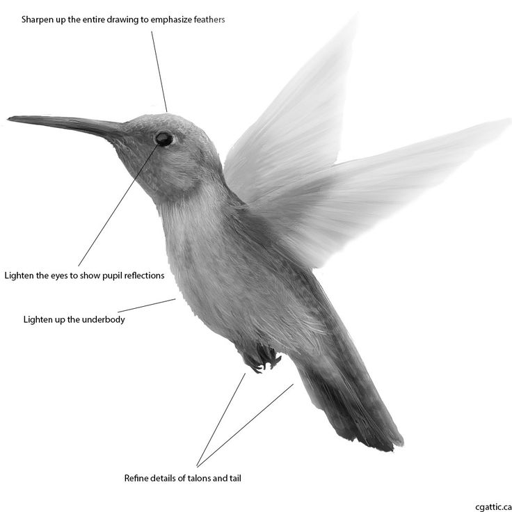 realistic hummingbird drawing step 4: Shading defines more than just light and shadow. It also defines what is in the background and what is in the foreground. Technique wise, it is done with a large round brush either on the layer itself or on a separate layer. After that, you can sharpen the drawing by using the sharpen filter when you are done. This will help bring out more additional feather details.