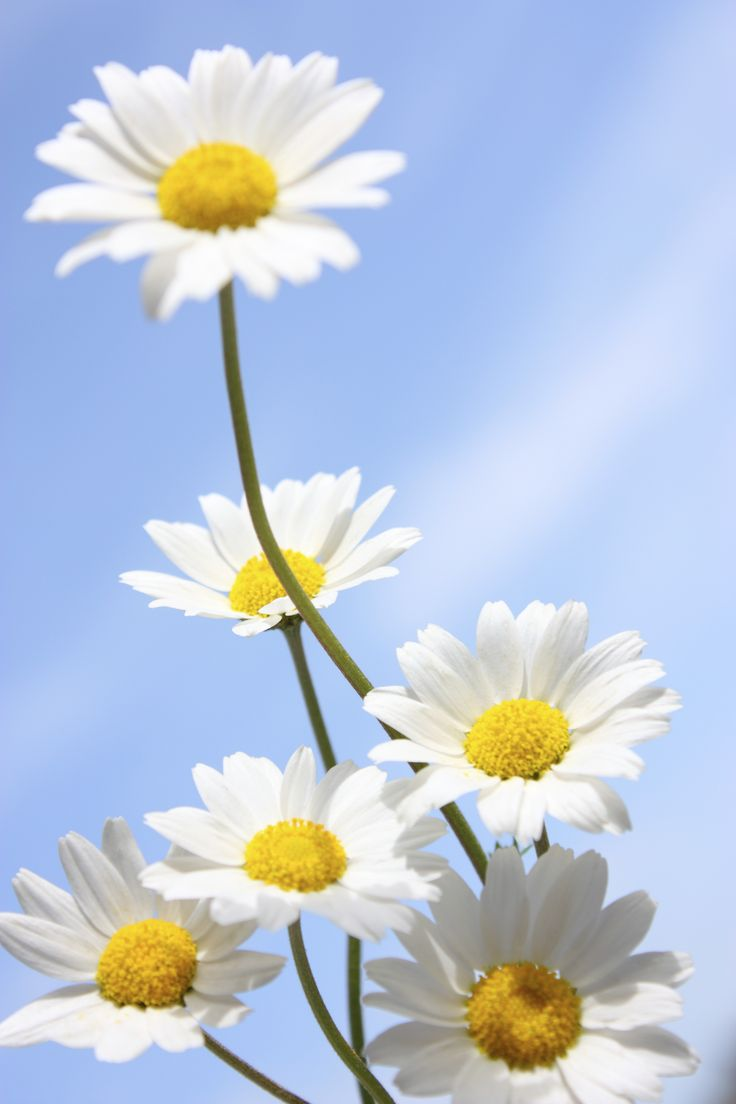 Blue daisy flower meaning daisy flower meaning in kannada flowers healthy 10 delightful things you didnt know about daisies izmirmasajfo