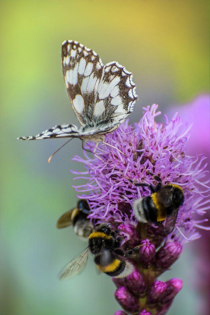 https://flic.kr/p/BcuKAV | Marbled white / Melanargia galathea; Buff-tailed bumblebee /  Bombus terrestris | Polowiec szachownica, trzmiel ziemny