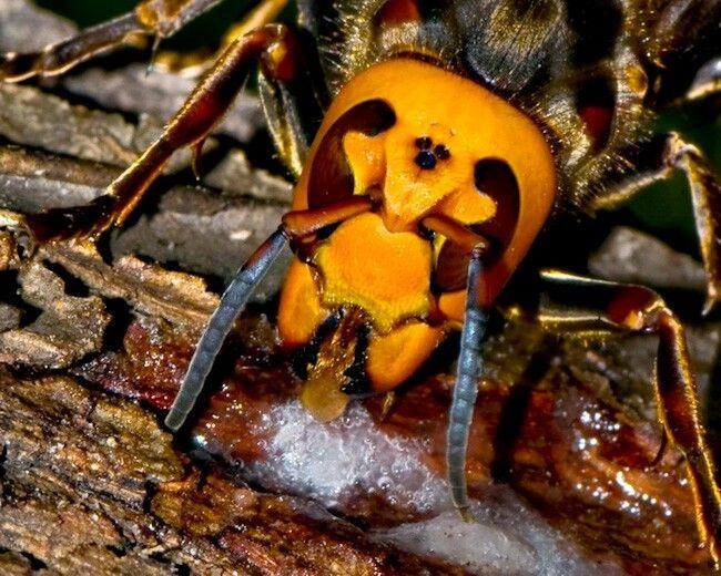 Ver 1000 Id Er Om Japanese Giant Hornet P Pinterest Insekter Och Beetles