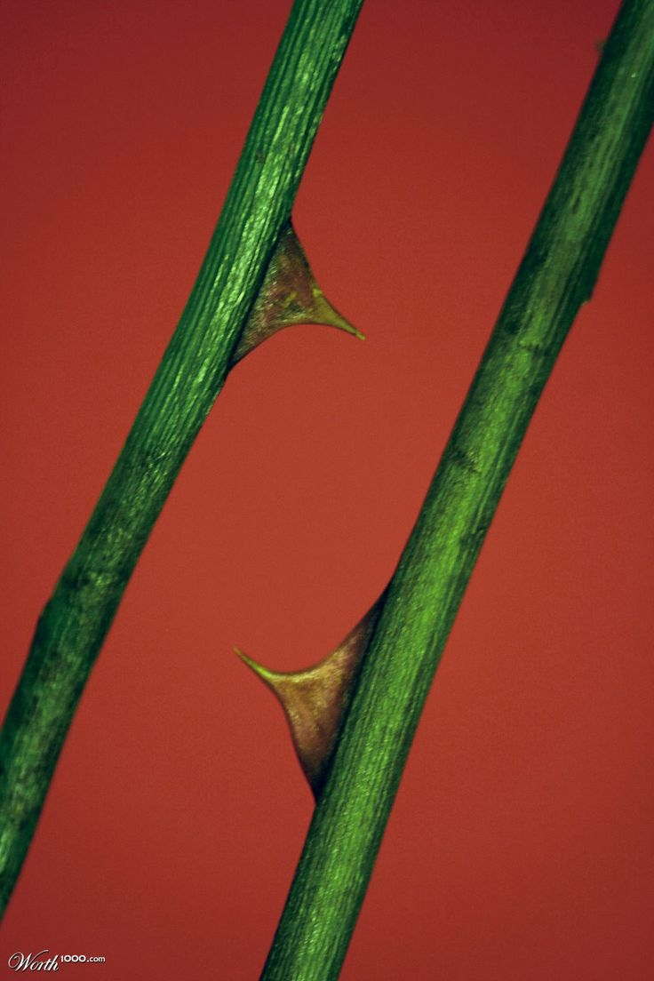 Rose Stems & Thorns by flyingcowpat | Thorns | Pinterest ...