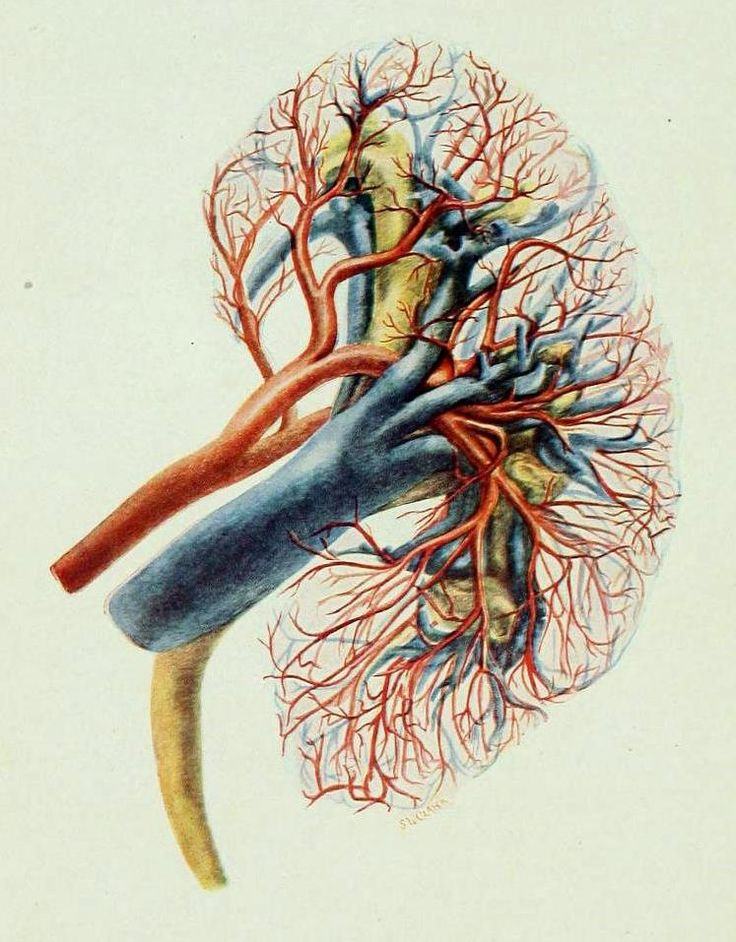 126 Best Kidneys Images On Pinterest Anatomy Anatomy Reference