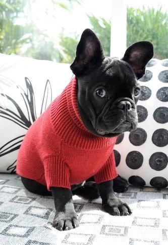 Do french bulldogs need to wear sweaters