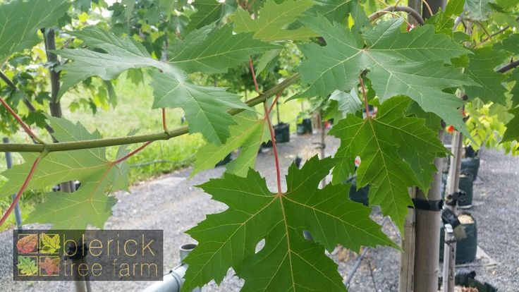 Acer saccharinum – Silver Maple – Purchase Bare Rooted Trees Online