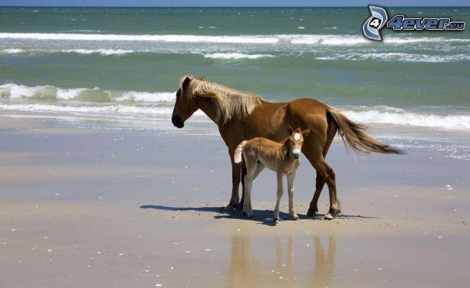 caballos en la playa, los caballos marrónes, potro, playa de arena, mar