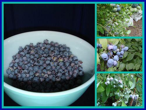 cultivar moras azules - wikiHow