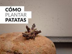 como cultivar patatas en huertos urbanos