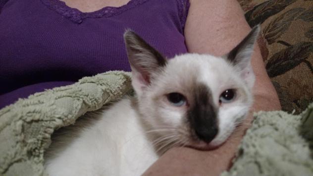 Adopt A Persian Cat Nj