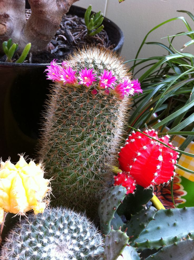 This particular plant brings me to tears of laughter every single year it flowers! Love my cactus.