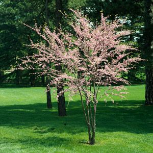 58 Best Images About Flowering Trees On Pinterest Lilacs
