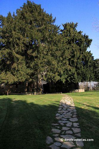 El tejo: árbol milenario de Asturias
