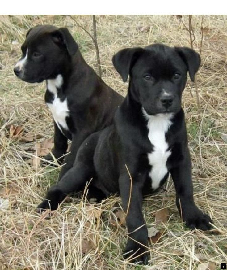 Check Out The Webpage To Read More On Pitbull Puppies For Sale