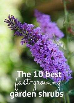 The 10 best fast-growing shrubs for instant garden impact. Fill bare spots quickly with these vigorous quick-growing shrubs, both flowering and evergreen varieties to choose from