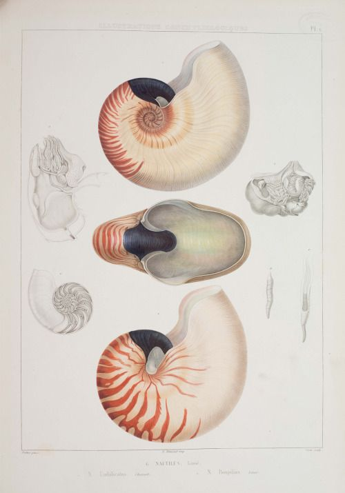 Nautilus pompilius (chambered nautilus); from Jean Charles Chenu, Illustrations conchyliologiques … , 1854 See live nautilus in the current exhibition Life at the Limits, and learn more about shells in the new book, The Seashell Collector, a boxed set featuring a booklet by Ilya Temkin, a former postdoctoral researcher at the Museum.
