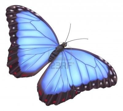 illustration d'un beau papillon Morpho bleu                              …