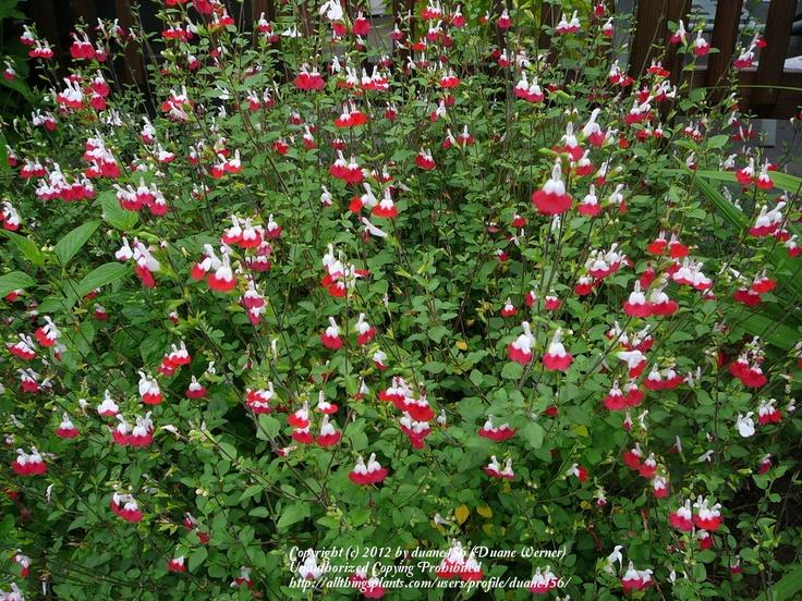 Salvia Quot Hot Lips Quot With Images Salvia Plants Plants