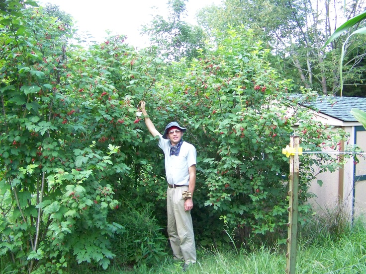 Highbush Cranberry Viburnum Opulus Bushes Grow To 15 Feet