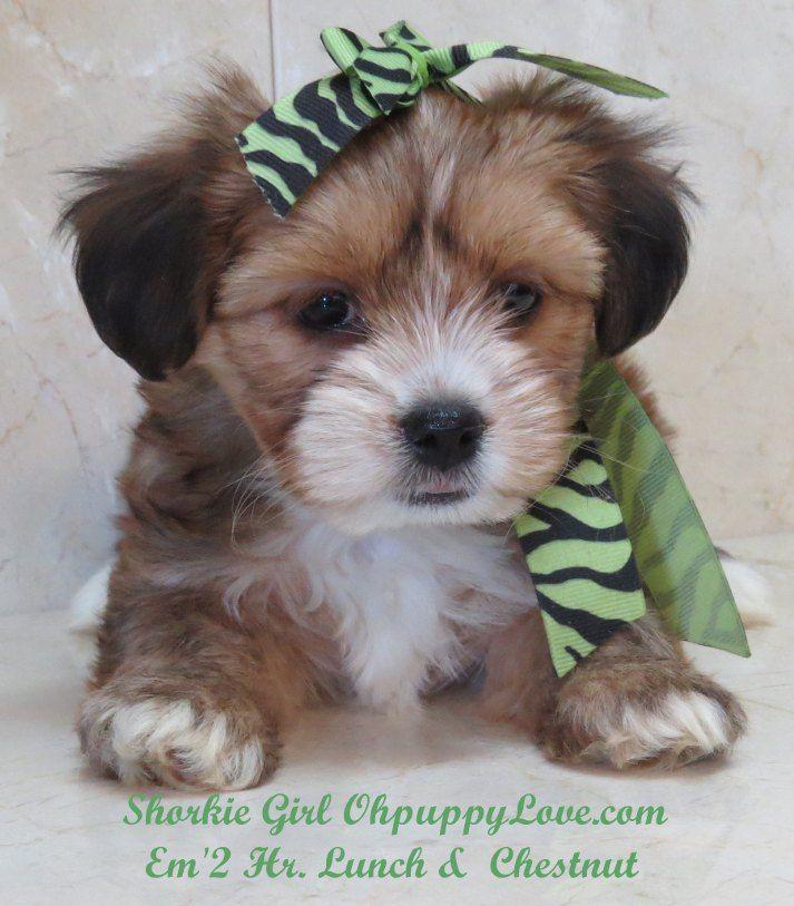 www.ohpuppylove.com- morkie, shorkie, maltipoo,breeder,puppies,puppy,dog,dogs,dog breeds,morkie for sale,shorkie for sale,maltipoo for sale,dog video,dog photo,dog story,dog home,FAQ,about us ,illinois,IL.,wisconsin,WI.,California,CA.Minnesota,MN.,Michigan,MI.,New York,NY.,Chicago,Milwaukee,Atlanta,Georgia,GA.New Jersey,NJ..