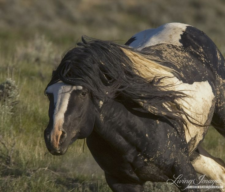 2176 besten wild horses mustangs bilder auf pinterest for Where to buy fine art