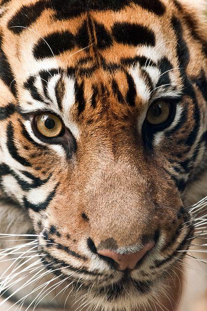 wavemotions:  Indah, Is There Any Female Tiger Finer?|Harimau Kayu (AKA Sumatra-Tiger)