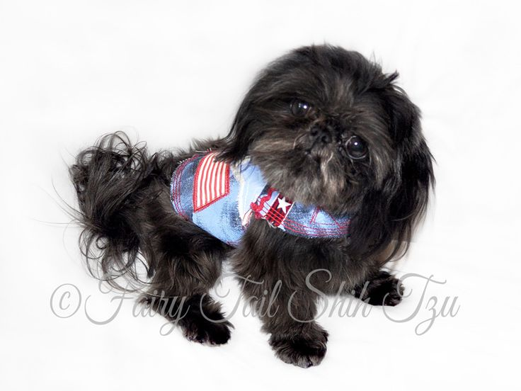 This handsome boy is Reggae, he is a solid black male & is ready for adoption.  Visit our Nursery for more info on our fur babies or other puppies that are currently available.  Health guarantee- worldwide shipping - Fairy Tail Shih Tzu - Tiny Teacup Imperial Shihtzu Purse Puppy Puppies for sale  http://fairytailshihtzu.com/nursery.html