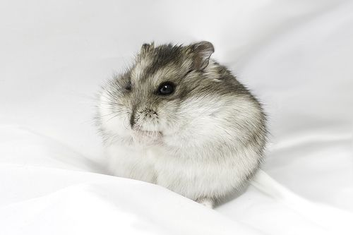 Dwarf hamster by romap, via Flickr