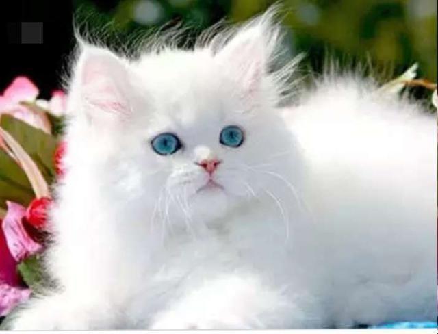 أجمل صور قطط شيرازي فارسي من أيران عالم القطط Persian Cat Cats Persian Cats For Sale
