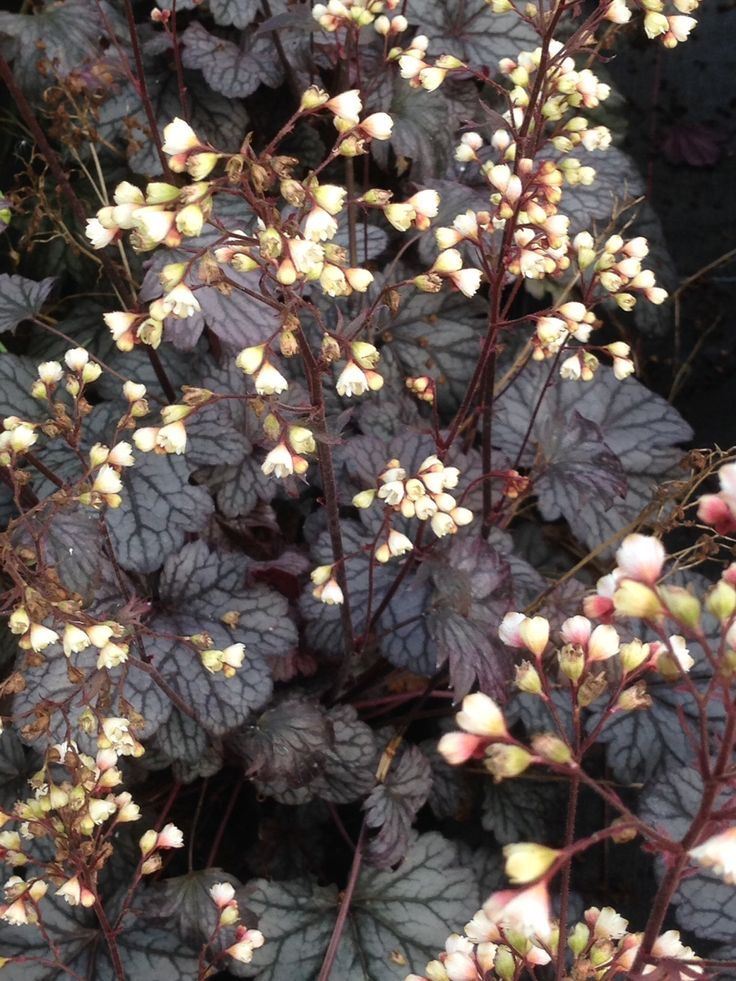 Heuchera they are evergreen clump forming glossy dark leaf,spikes of small creamy flowers