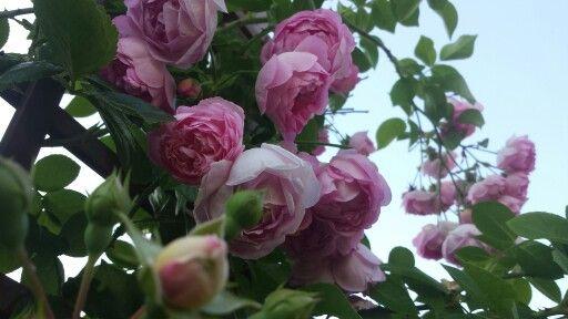 Plnokveta ruze